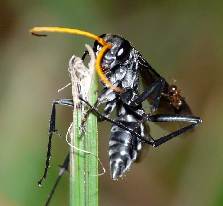 Black Wasp, ant on wing