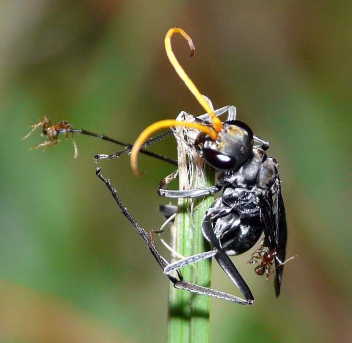 Black Wasp, in trouble