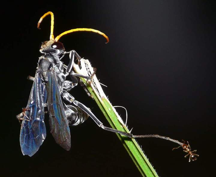 Black Wasp Beauty