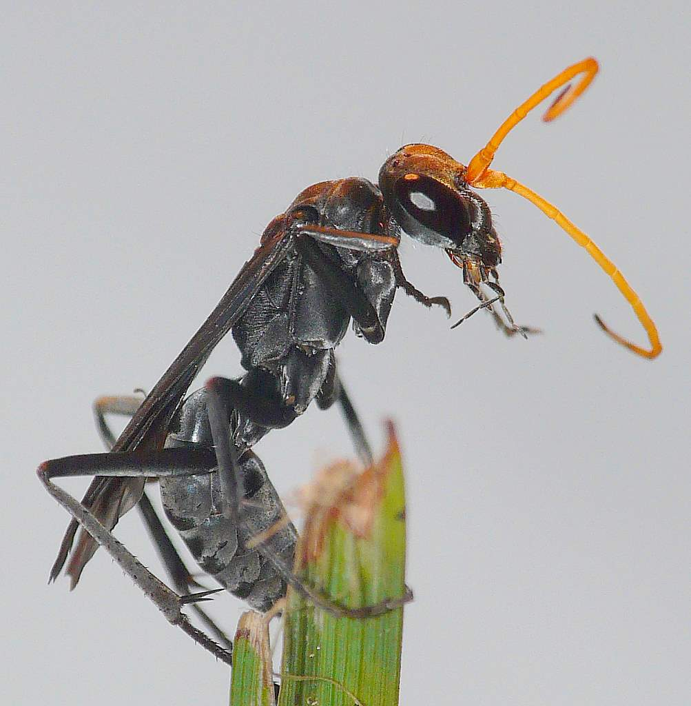 black-wasp-picture