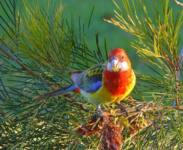 Rosella at Sunset
