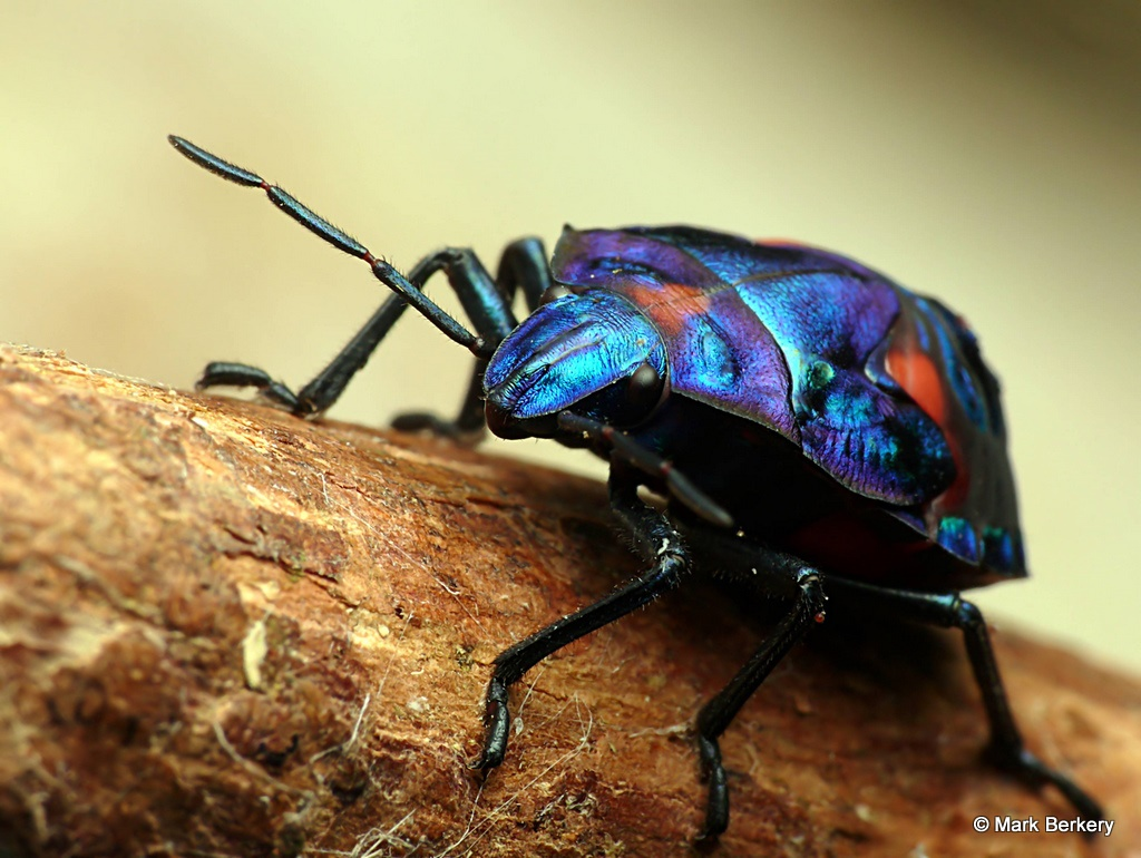 Hibiscus Harlequin Bug | Nature's Place