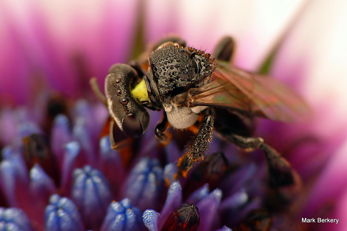 how to catch stingless bees