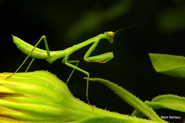 Mantis, keeps the hungry Grasshoppers in check, naturally ...