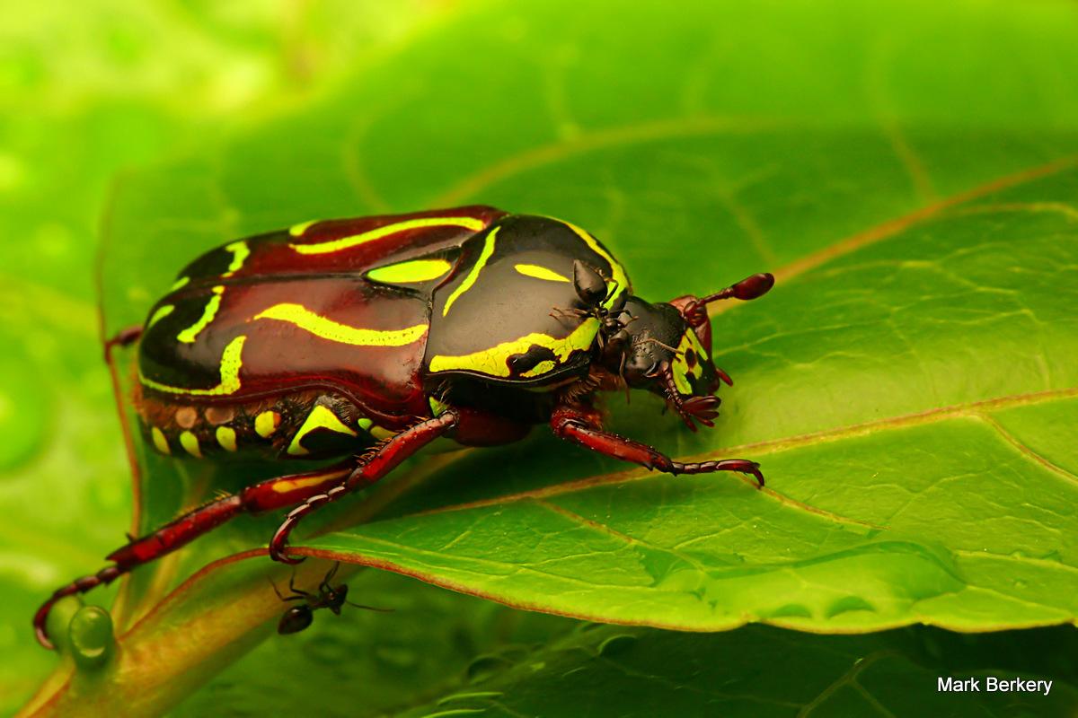 Painted Starnger - Fiddler Beetle: Macro and Still Life