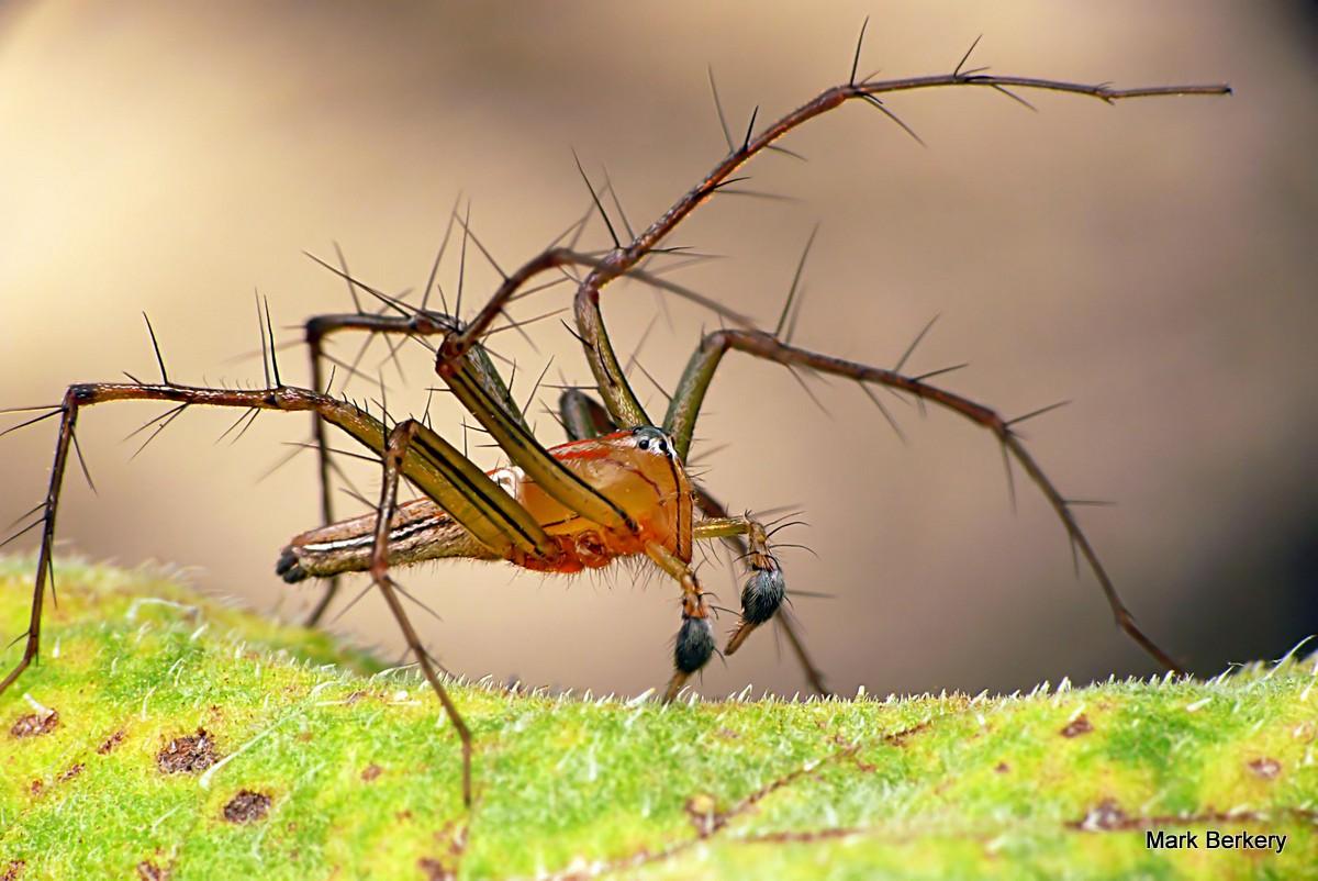 Australian spider | Australia - Spiders | Pinterest