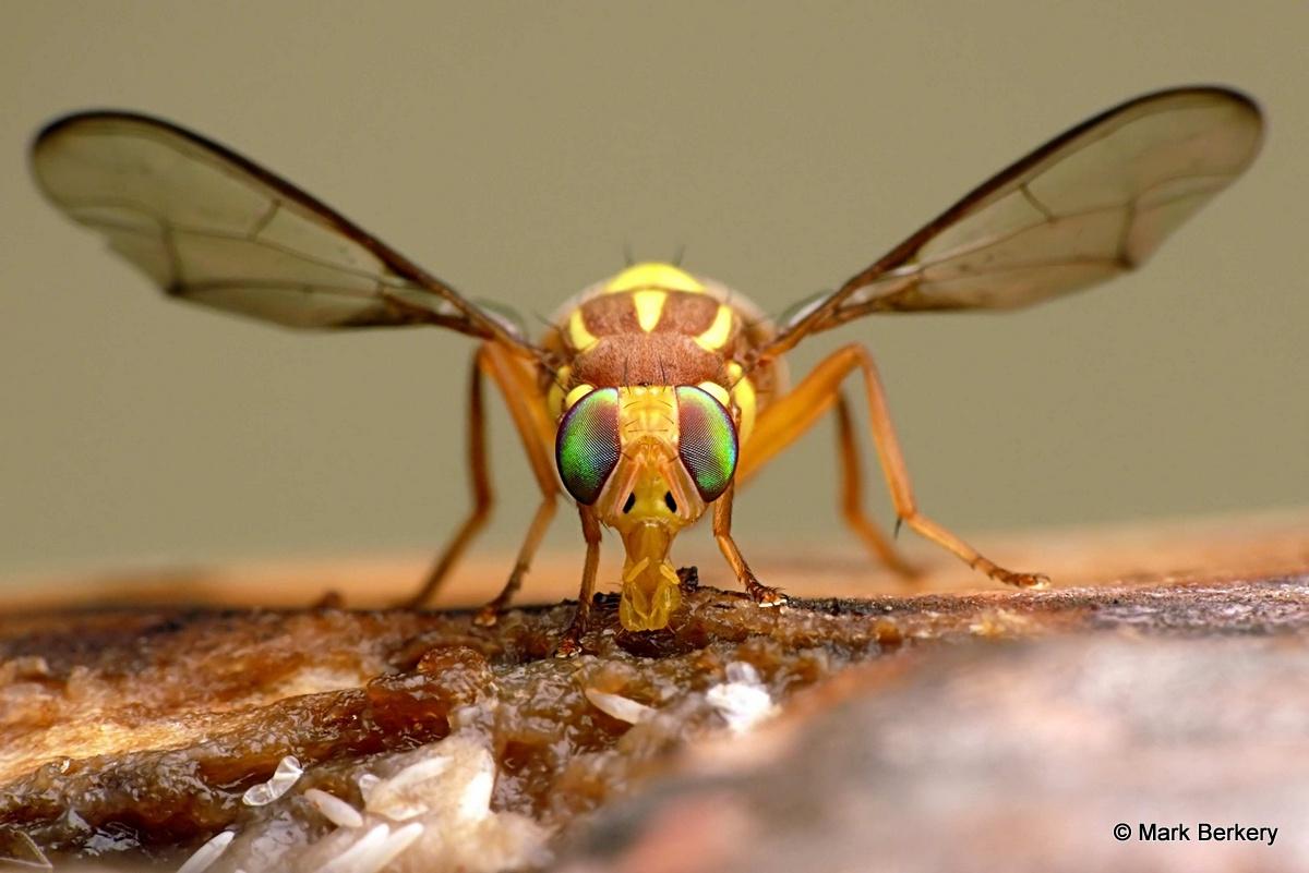 forbidden fruit fruit fly trap