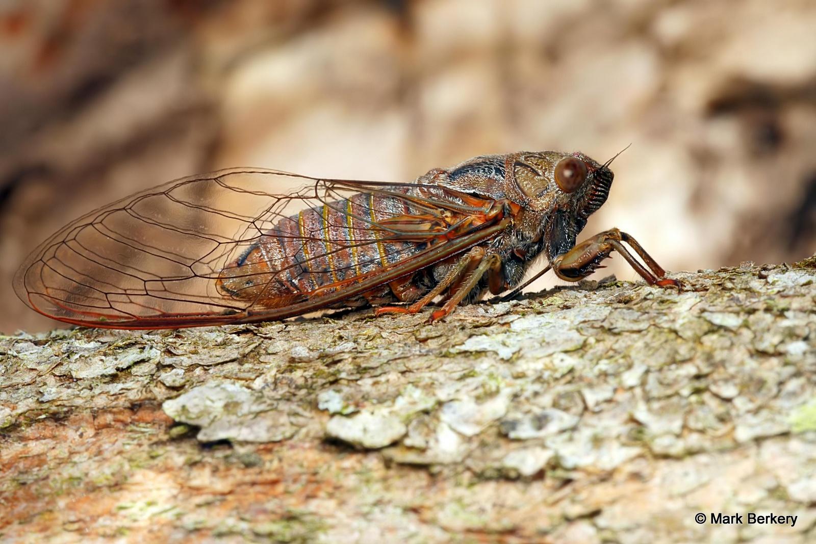 cicada - photo #9