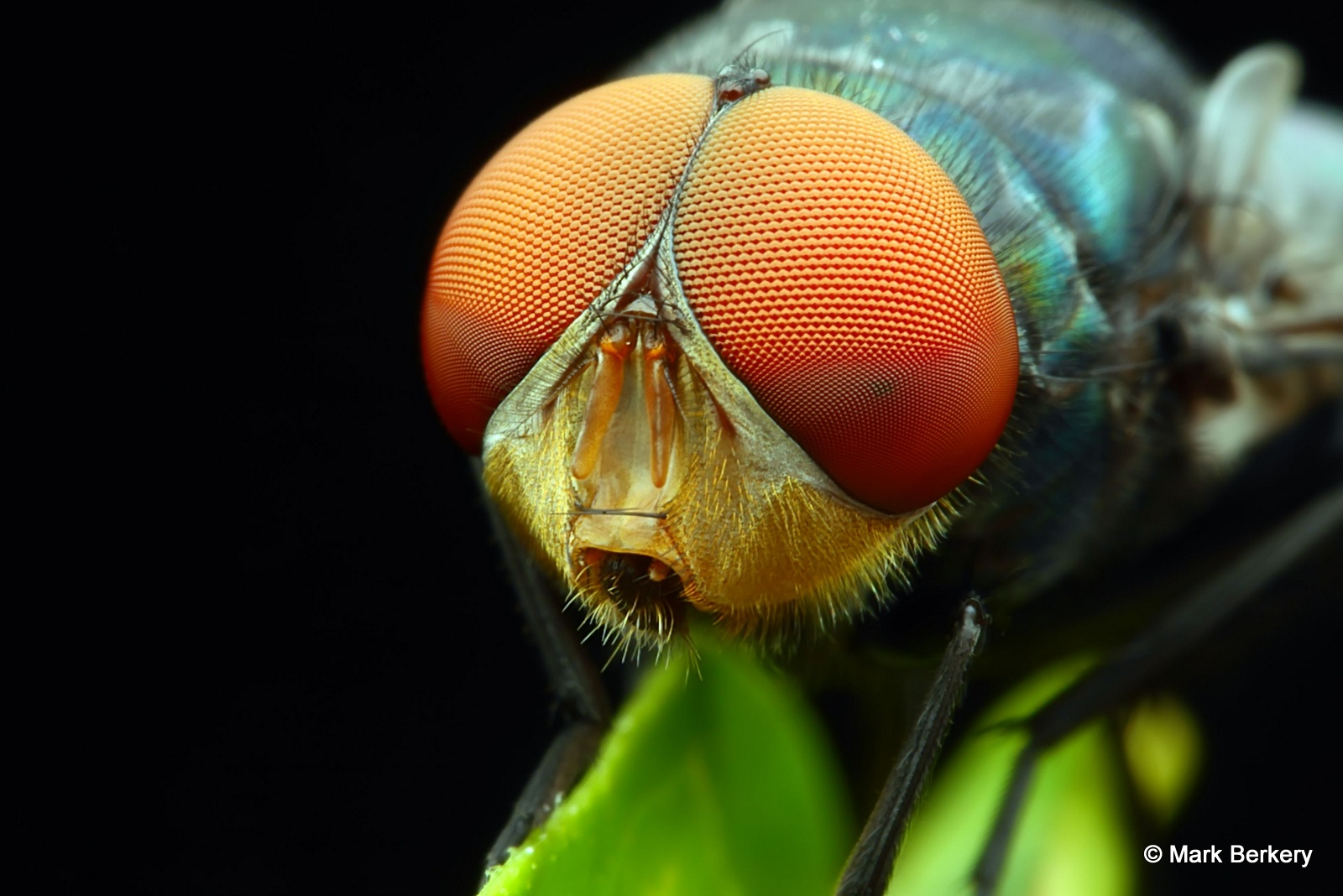 Fly | Nature's Place Fly Eyes