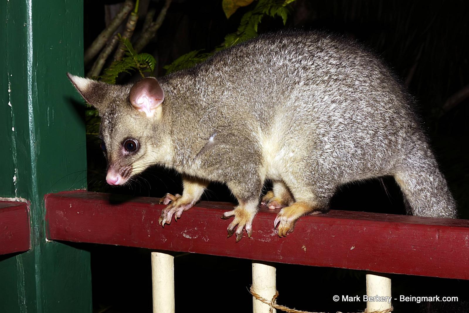 Possum … | Nature's Place